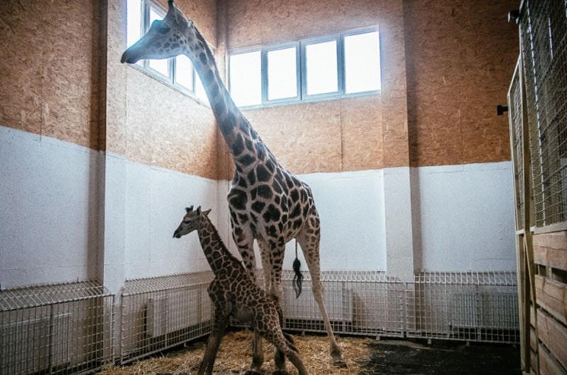 Жираф, который две недели назад родился в Одессе, подрос и позирует фотографам