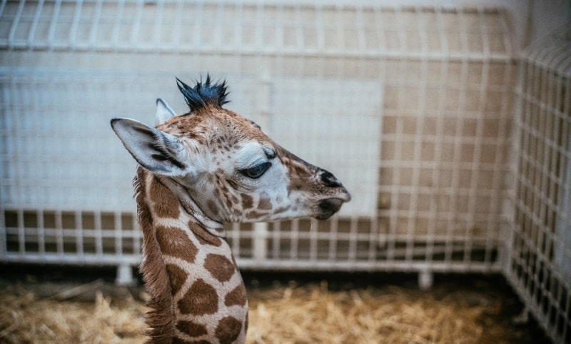 Жираф родился в Одессе
