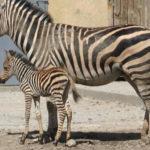 В Одесском зоопарке родился малыш зебра