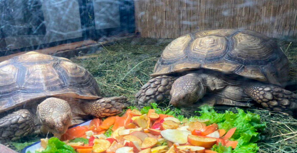 В одесском зоопарке поселилась парочка крупнейших в мире черепах